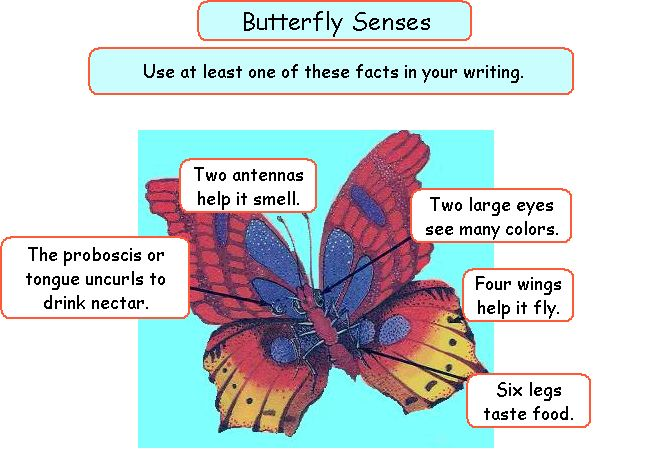 mrs mcgowan s first grade class rh kids learn org Diagram of a Butterfly Worksheet Simple Butterfly Diagram